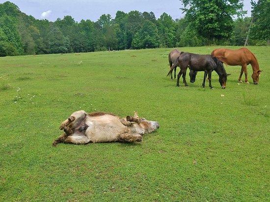 Blacksburg, Karolina Południowa: Donkey