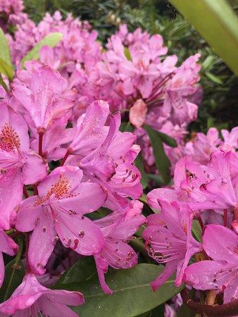 Meerkerk Gardens: Many rhododendrons in bloom, here's just a sample.