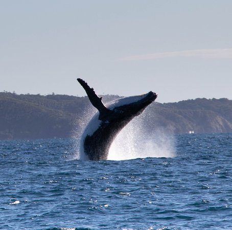Premier Whale Watching Byron Bay: Yep, go see these guys for yourself. Taken off Lennox Head looking towards Broken Head