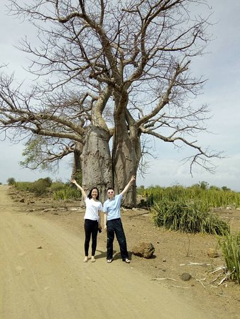 Baobab tree. Mikumi national park. Best choice