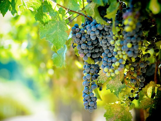 Calaveras County, แคลิฟอร์เนีย: Calaveras wine grapes