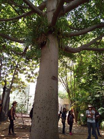 ceiba - Picture of Ethnobotanical Garden, Oaxaca - Tripadvisor