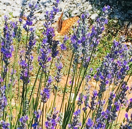Southern Hills Lavender Photo