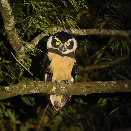 Luque, Paraguay: Spectacled Owl - Atlantic forest - Mbaracayu Biosphere Reserve