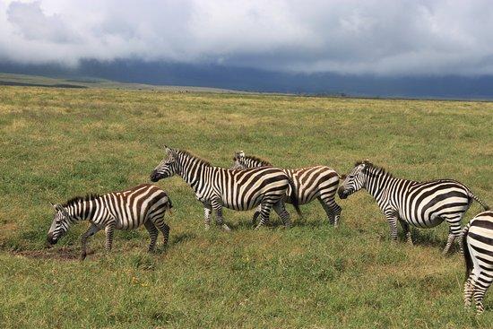 Shayona Safaris & Tours: Zebra