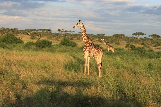 Shayona Safaris & Tours: Giraffe