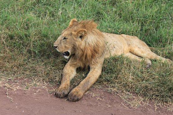 Shayona Safaris & Tours: Young male lion
