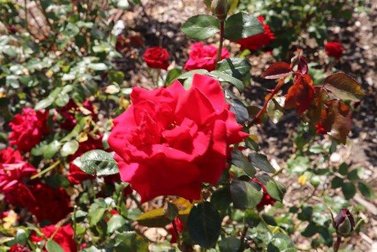 Morwell Centenary Rose Garden
