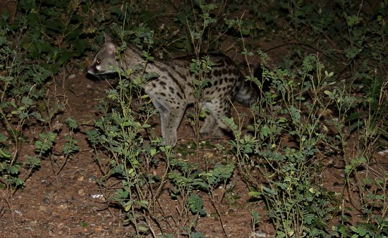 Spotted genet in Marloth Park