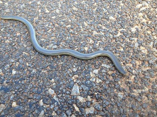 Blind snake in Marloth Park