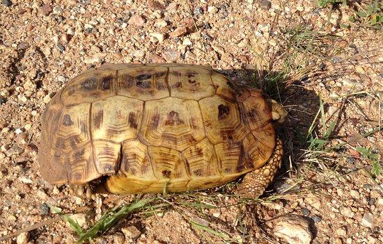 Tortoise in Marloth Park