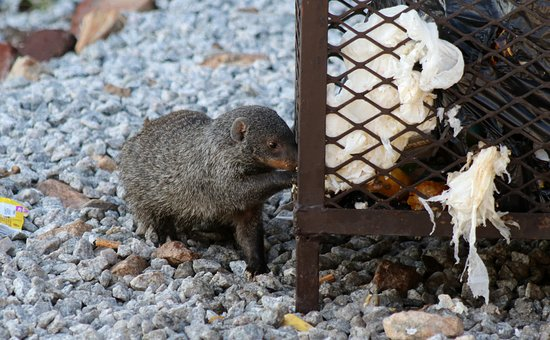 Banded mongoose determined to get a rib bone (Marloth Park)