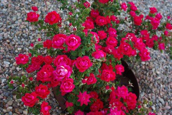 Santa Rosa, NM: red flowers