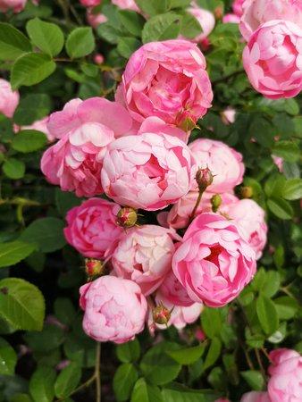 Gerlevparken: roser