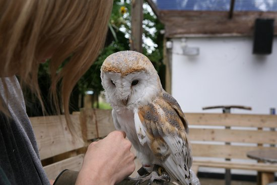 Randalstown, UK: Owl experience - hold and touch a friendly barn owl!