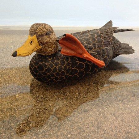 Huntington, VT: This Black Duck has an itch...