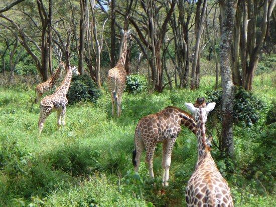 Giraffe Centre: Természetes élőhely