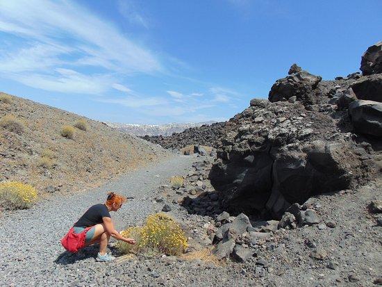 Santorini Volcano: На раскаленной земле растет бессмертник