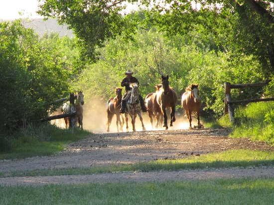 Vee Bar Guest Ranch: Bringing in the horses from the overnight pasture
