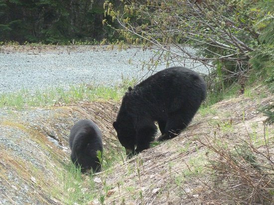 Whistler, Canadá: Mama and baby bear enjoying a snack after napping