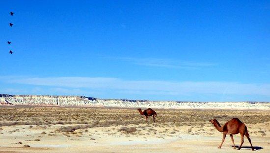Balkanabat, Turkmenistan: Camels