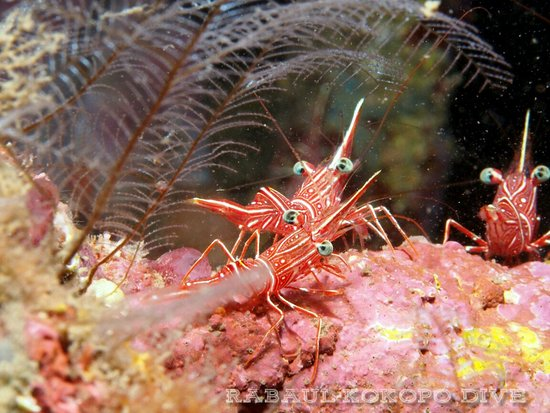 East New Britain, Papua Nowa Gwinea: They dance: To attract fish, cleaning shrimp wave their white antennae and do a little dance.