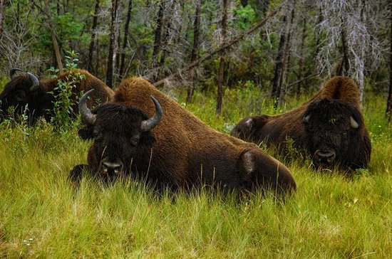 Mountain Buffalo Half-Day Tour from...
