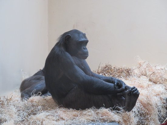 Monkey World: This chimp seemed so chilled, sat with legs crossed watching the others.