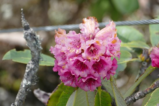 North Sikkim, Ấn Độ: Rhododendrons