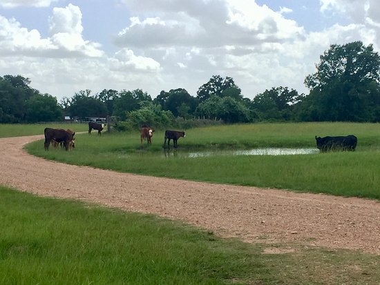 Cat Spring, TX: Cattle along the road