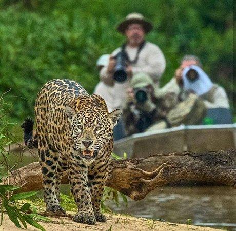 Varzea Grande: Observação da Onça Pintada - Pantanal