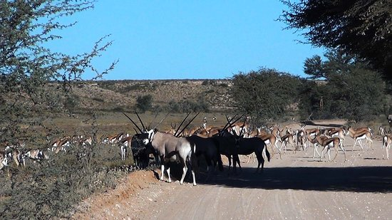 Molopo Kalahari Lodge: Antelope from the park...