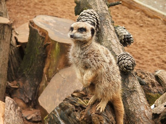 Sparkwell, UK : Meerkat waiting for feeding time.
