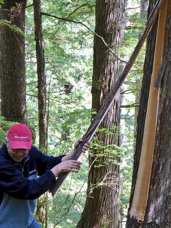 Moresby Island, Canada: Stripping bark off cedar tree for weaving material