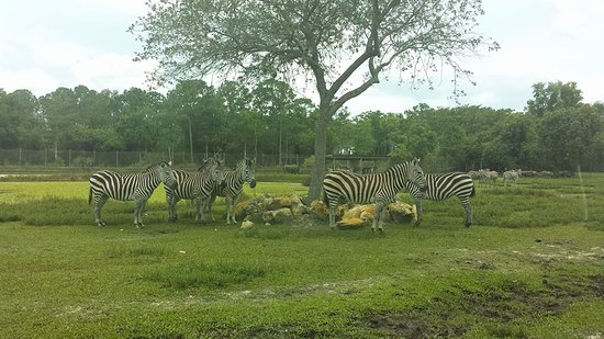 Loxahatchee, Φλόριντα: These zebras were a few feet from our Subaru.