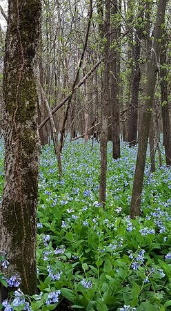 Pontiac, IL: Bluebells at Humiston Woods in April