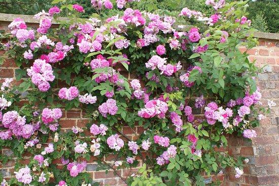 Riverhill Himalayan Gardens: Ramblin' Rose
