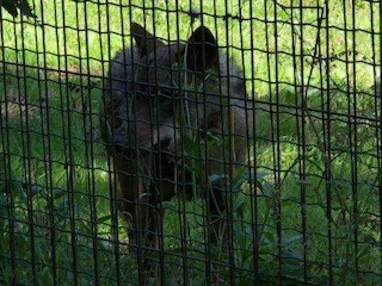 Belmonte de Miranda, Spain: Foto del macho alfa, del cercado