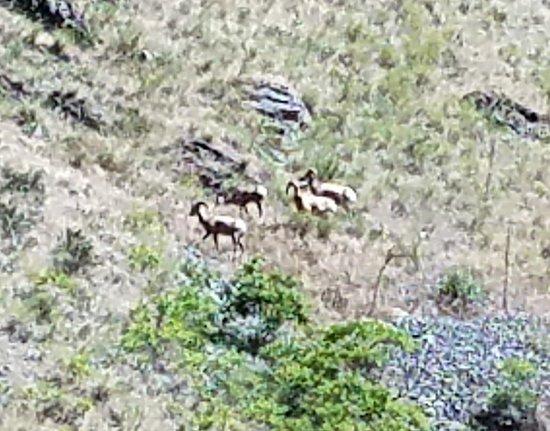 Oxbow, Oregón: Wild sheep on hillside of Hells Canyon