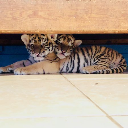 Greater Wynnewood Exotic Animal Park: sleepy tiger cubs