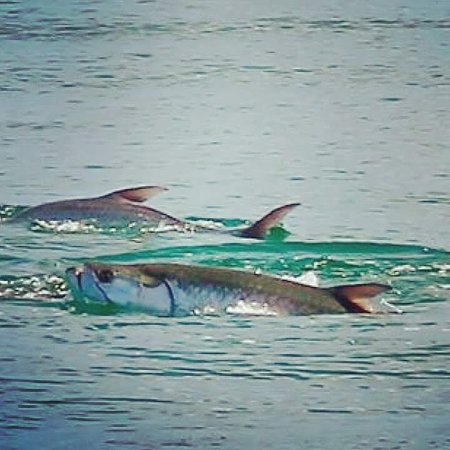 Gulf Coastin Charters: Tarpon trips are available