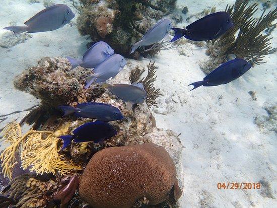 blue tang fish picture of acquarius sea tours seven mile beach