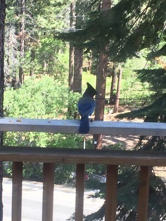 Hyatt Residence Club Lake Tahoe, High Sierra Lodge : A large blue jay enjoying a snack on our balcony