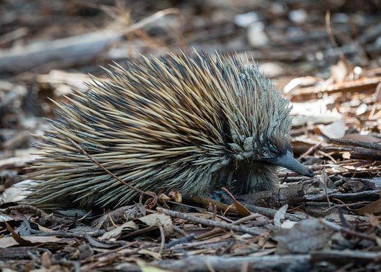 Hanson Bay, Australia: An echidna we spotted.