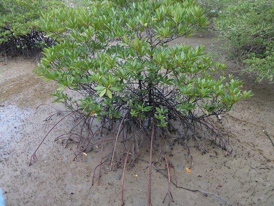 Bako National Park, Malaysia: Mangrove