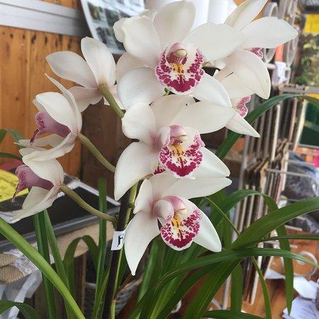 Marvellous Orchid