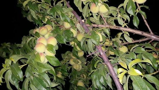 Golbasi, Turkey: Ücretsiz, organik meyvelerimiz