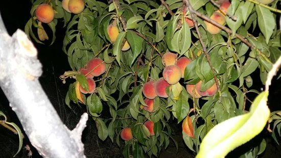 Golbasi, Τουρκία: Ücretsiz, organik meyvelerimiz