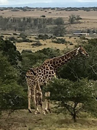 Amakhala Game Reserve, South Africa: giraffe & 2 day old baby hiding in her kegs - amazing