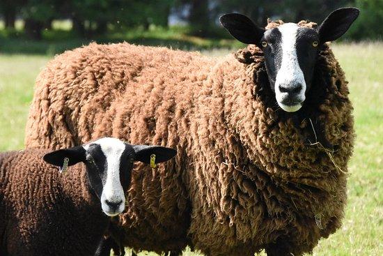 Bellingham, UK: Our Zwartbles sheep